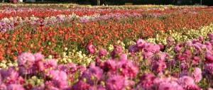 Enjoy acres of blooming dahlias at Swan Island Dahlia farm, just minutes from Aurora in Canby.